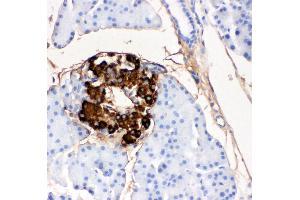 Anti-Insulin antibody (monoclonal), IHC(P) IHC(P): Rat Pancreas Tissue