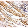 anti-KIT 抗体 (Mast/stem Cell Growth Factor Receptor) (AA 26-285)