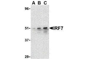 Image no. 1 for anti-Interferon Regulatory Factor 7 (IRF7) (C-Term) antibody (ABIN2475148)