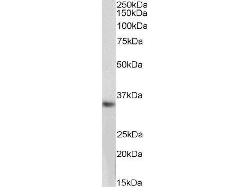 Image no. 3 for Monoglyceride Lipase (MGLL) peptide (ABIN369607)