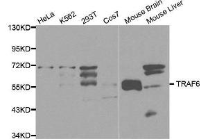 Western blot analysis of extracts of various cell lines, using TRAF6 antibody.