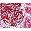 anti-ENPEP antibody (Glutamyl Aminopeptidase (Aminopeptidase A)) (C-Term)