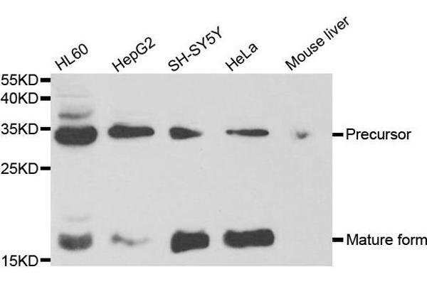 Western blot analysis of extracts of various cell lines, using NGF antibody.